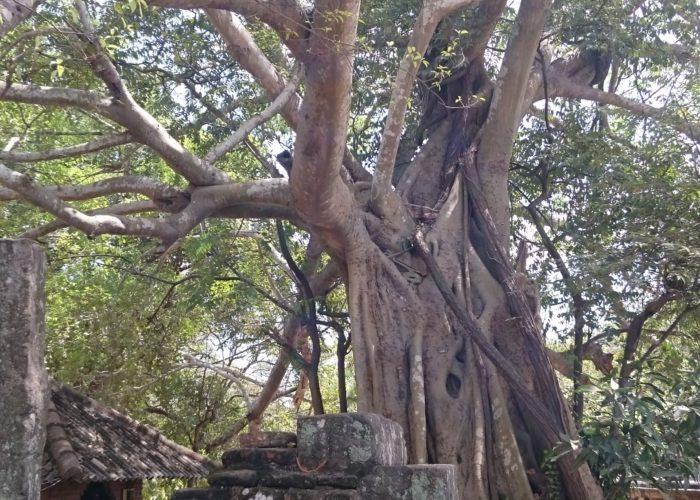 Polonnaruwa Bothi