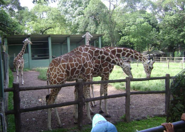 Dehiwala giraf Zoological Garden
