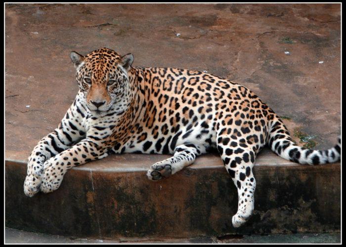 Dehiwala Zoological Garden tig