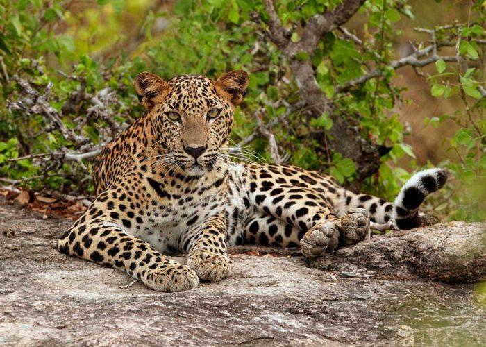 Leopard-Yala-lanka