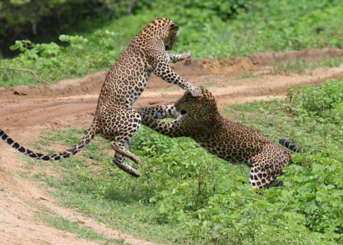 Leopard-Yala2