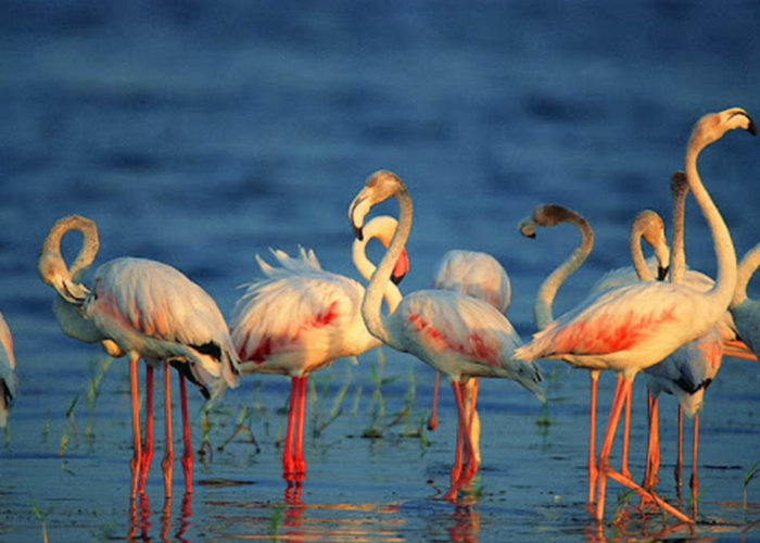 Flamingos lanka