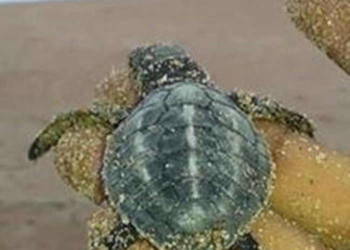 sea-turtle-conservation-dehiwala-baby