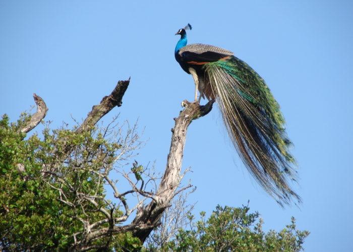 wasgamuwa-bird
