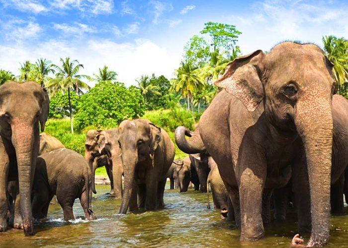 Pinnawala-Elephant-orphanage-3