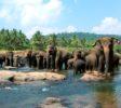 Pinnawala-Elephant-Orphanage-6