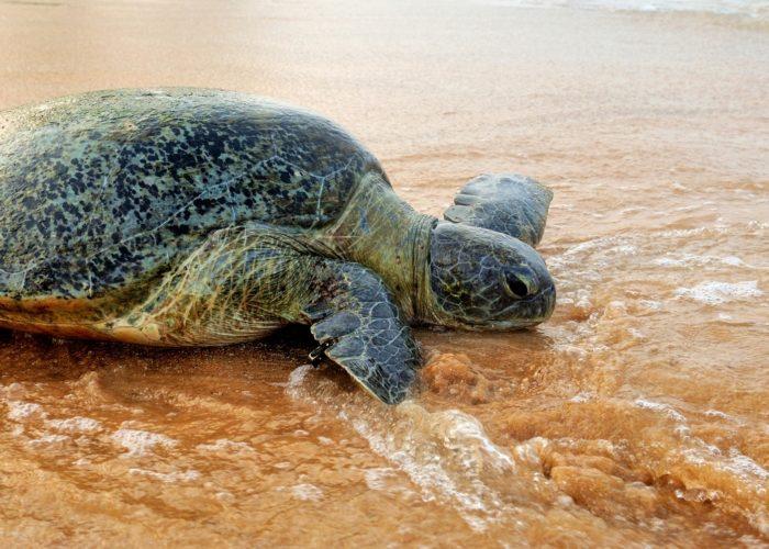 Kosgoda Sea Turtle on