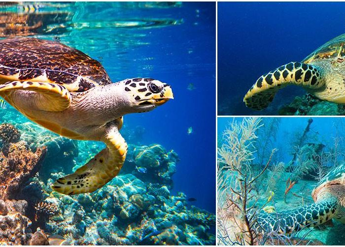 Kosgoda Sea Turtle
