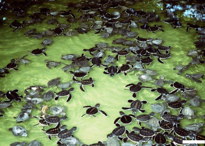 Sea Turtle Farm Hatchery