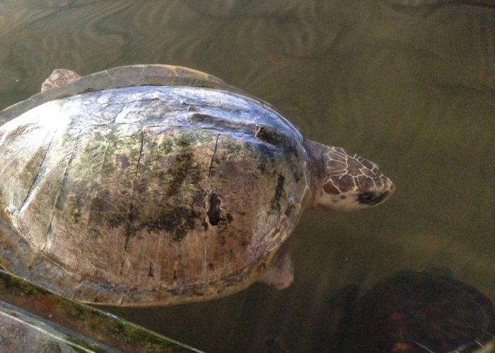Sea Turtle Farm & Hatchery 1
