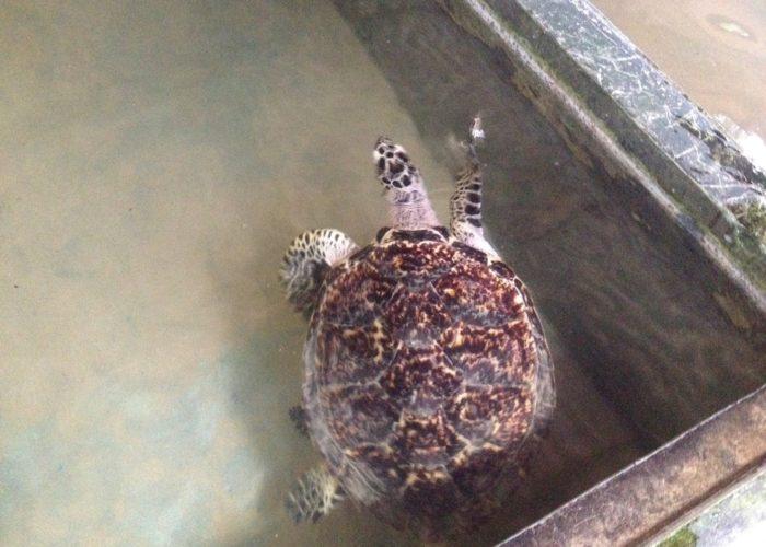 Sea Turtle Farm & Hatchery 2