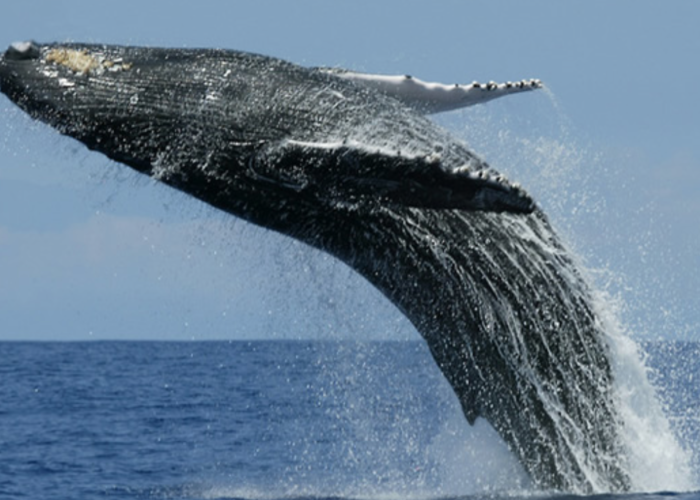 Whale dolfine Mirissa