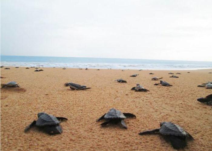 Kosgoda Sea Turtle farm