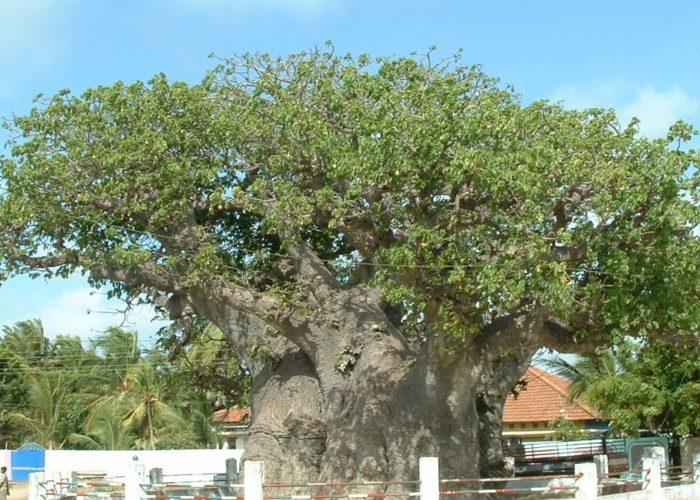 Mannar baobab tree