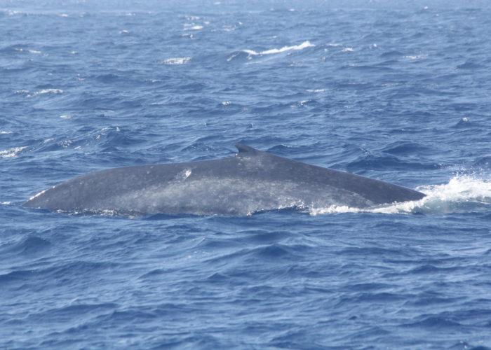 Whales Trinco