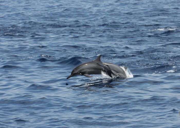 Trincomalee dolphins
